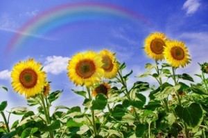 15563592-sunflowers-field-with-rainbow-over-blue-sky